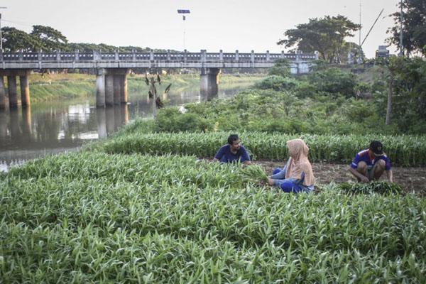 Warga memanfaatkan lahan yang tidak terlalu luas di bantaran Banji Kanal Timur (BKT) di Cakung, Jakarta, untuk ditanami kangkung. - Antara/Dhemas Reviyanto