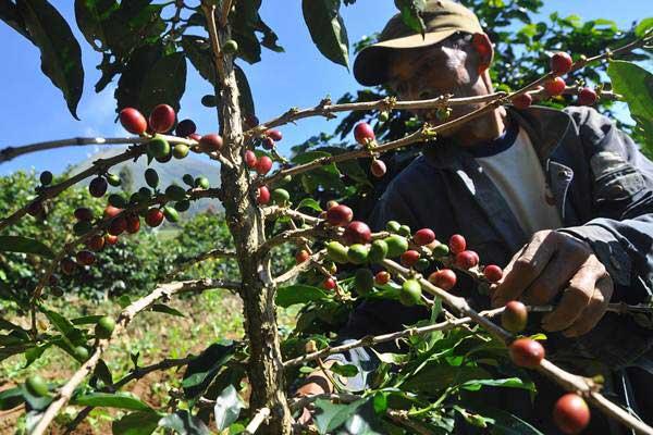 Ilustrasi petani merawat tanaman kopi. - Antara/Anis Efizudin