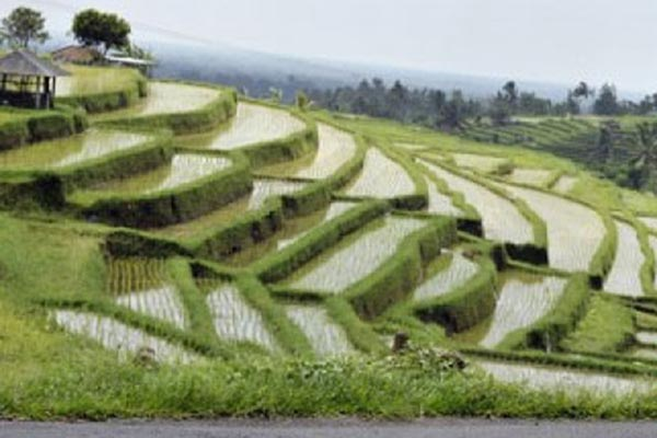 Persawahan di Bali - Antara/Nyoman Budhiana
