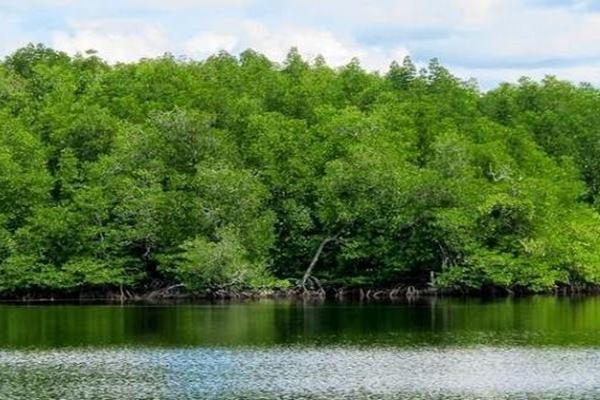 Hutan bakau atau mangrove - Istimewa