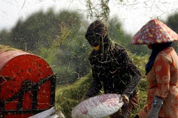 Ilustrasi: Petani merontokkan padi hasil panen. - Bisnis.com/Rachman