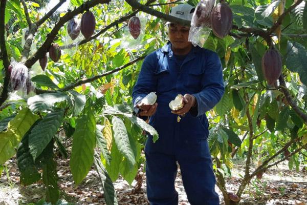 Tanaman kakao - Antara/PT MARS