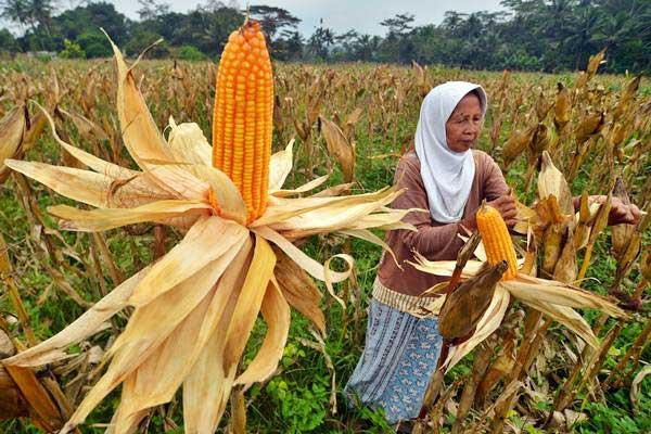 Petani memanen jagung - ANTARA/Adeng Bustomi