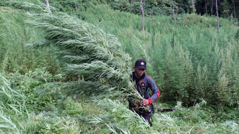 Penemuan ladang ganja di Aceh Besar, Provinsi Aceh. - Antara/Ampelsa