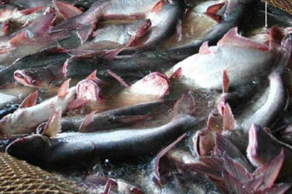 Ikan patin - Antara