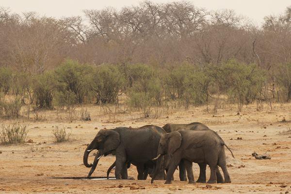 Kawanan gajah di Zimbabwe - Reuters