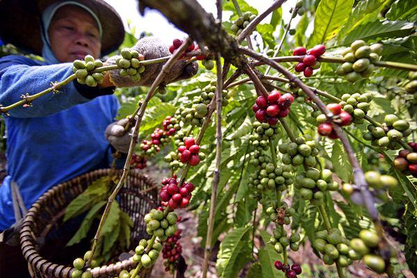 Panen kopi robusta. - Bloomberg/Dimas Ardian