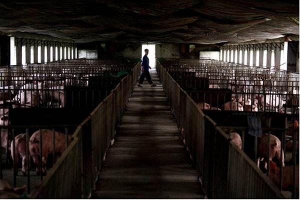 Babi-Seorang pekerja melintas di sebuah peternakan babi di pinggiran Beijing, 7 September 2012. - Reuters/David Gray
