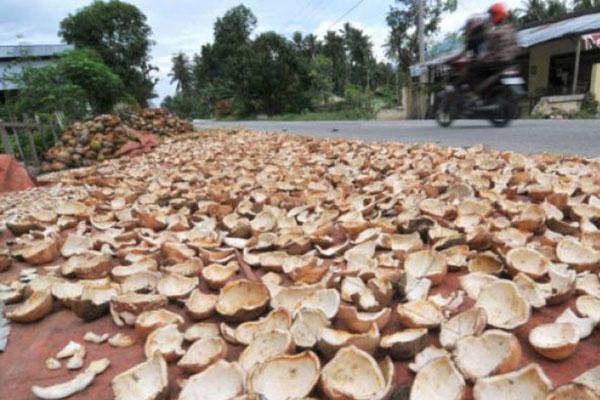 Proses pembuatan kopra. Produk dari kelapa merupakan salah satu andalan perkebunan di Maluku. - Antara