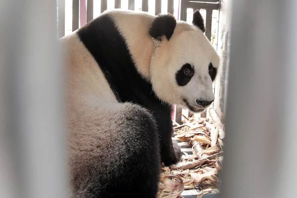 Ilustrasi - Giant panda hasil pengembangbiakan China Conservation Research Center for the Giant Panda (CCRCGP) tiba di bandara Soekarno Hatta, Tangerang, Kamis (28/9). - Reuters/Beawihar