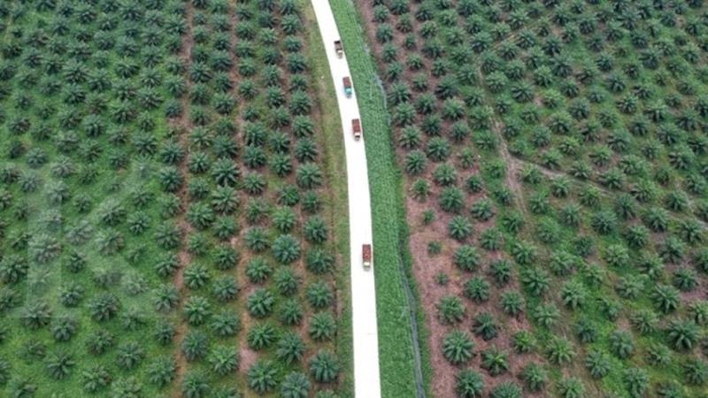 Perkebunan sawit PTPN V di Riau. - Antara/Wahdi Septiawan