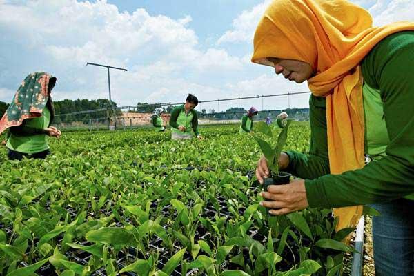 Karyawan beraktivitas di pembibitan (nursery) Akasia PT Riau Andalan Pulp and Paper (RAPP) untuk menghasilkan bibit pohon unggul sebagai bahan baku pulp dan kertas. - Istimewa