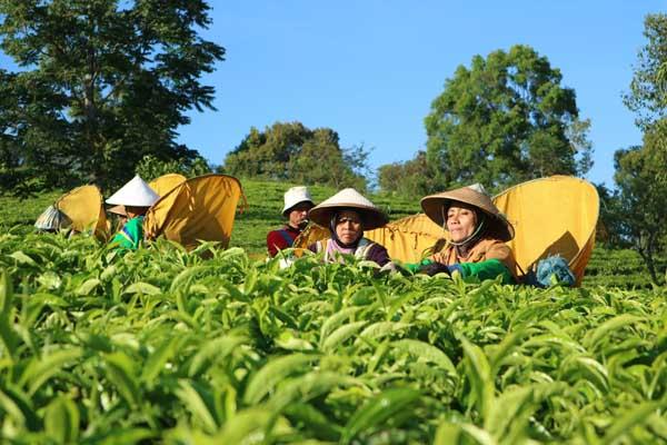 Para pemetik teh di Kebun Jolotigo dan pengolahan teh di Pabrik Teh Jolotigo Kabupaten Pekalongan Jawa Tengah. - Bisnis/ Alif Nazzala Rizqi