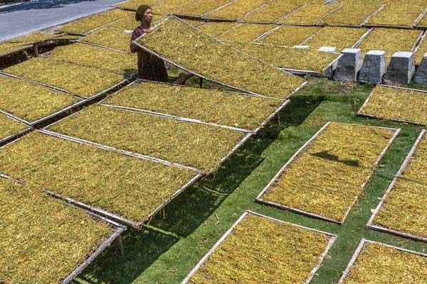 Petani menjemur tembakau rajang di rumahnya di Desa Tlogorejo, Karangawen, Demak, Jawa Tengah, Selasa (22/8). - ANTARA/Aji Styawan