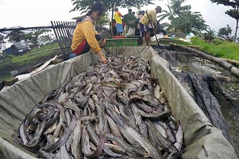 Panen ikan lele di Kampung lele, Sawit, Boyolali, Selasa (13/1/2015). - JIBI/Sunaryo Haryo Bayu