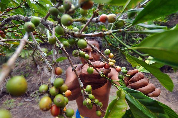 Petani memanen biji kopi Liberika Tungkal Komposit (Libtukom) di lahan pertanian gambut Mekar Jaya, Betara, Tanjung Jabung Barat, Jambi, Senin (20/3). - Antara/Wahdi Septiawan