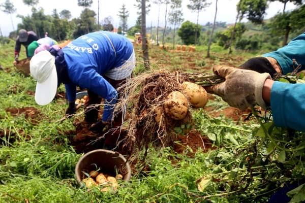 Petani memanen kentang di Desa Cicayur, Kecamatan Cimenyan, Kabupaten Bandung, Jawa Barat, Selasa (15/1/2019). - Bisnis/Rachman