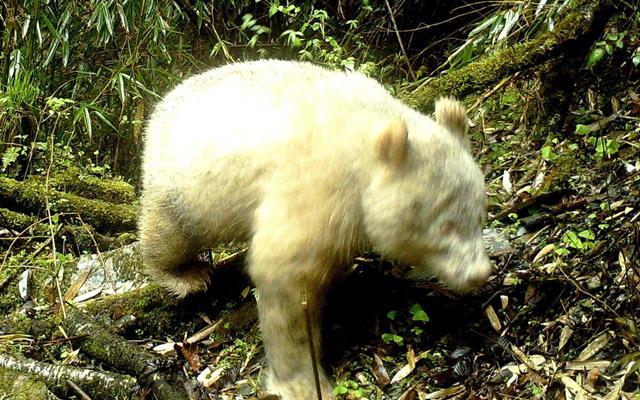 Panda albino dengan tubuh serba putih tertangkap kamera inframerah di cagar alam Nasinoal Wolong, China - Sumber : The Guardian
