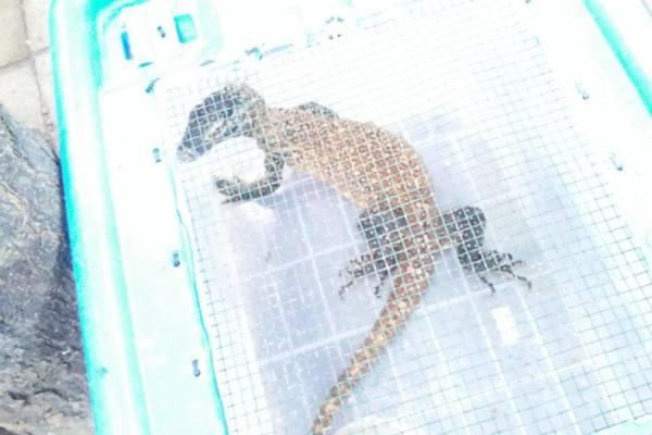 Salah satu satwa komodo (varanus komodoensis) yang diamankan dalam kasus perdagangan satwa liar yang berhasil diungkap Polda Jawa Timur - Dok. Disparekraf Provinsi NTT