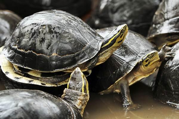 Kura-kura Ambon (Coura Amboinensis) hasil razia diamankan petugas gabungan Polsek Kerinci Kanan dan Balai Besar Konservasi Sumber Daya Alam (BBKSDA) Riau dari sebuah tempat penampungan satwa liar, di Riau, Jumat (24/2). - Antara/Rony Muharrman