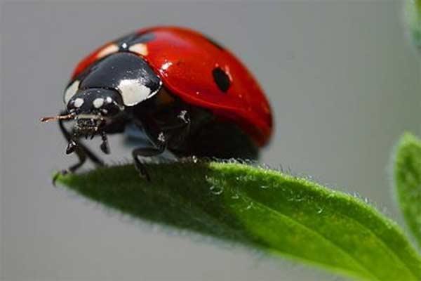 Kumbang Koksi / Ladybugs / ladybird beetles. - ANTARA
