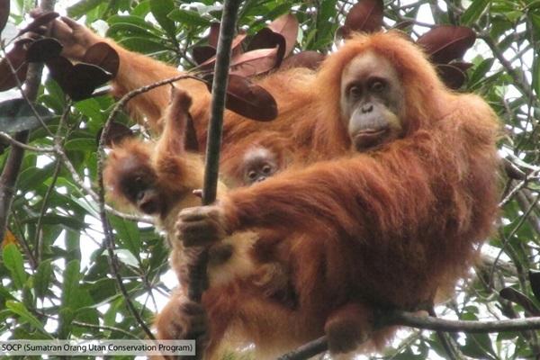 Orangutan Tapanuli dengan anak kembar - Doc.SOCP