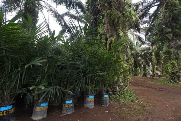 Dua orang petani meninjau perkebunan sawit milik mereka yang sudah berumur tua untuk mengikuti program 'replanting' di Desa Kota Tengah, Dolok Masihul, Serdang Bedagai, Sumatera Utara, Senin (27/11). - ANTARA FOTO/Septianda Perdana