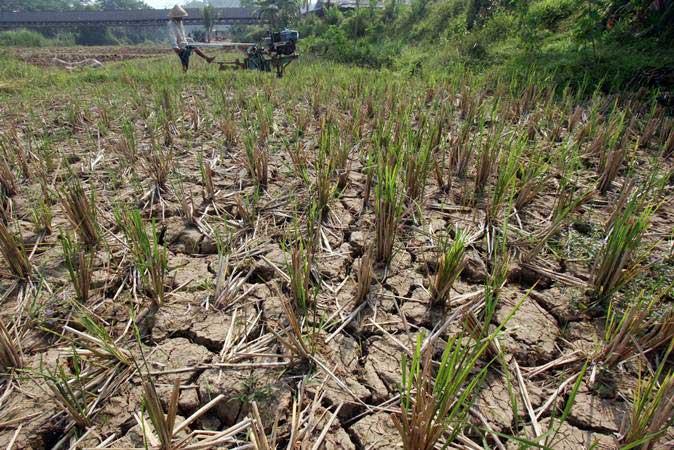 Petani membajak sawahnya yang mengalami kekeringan di Persawahan kawasan Citeureup, Bogor, Jawa Barat, Selasa (2/7/2019). - ANTARA/Yulius Satria Wijaya