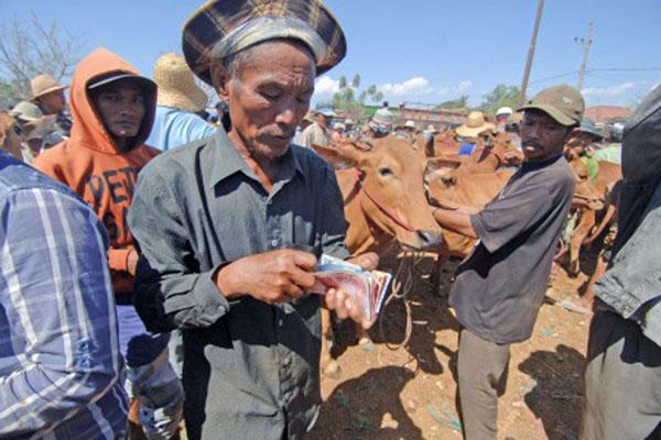 Seorang pedagang menghitung uang hasil penjualan sapi. - Antara/Saiful Bahri
