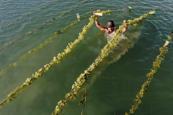 Petani rumput laut memeriksa tanaman rumput laut di Pantai Ujungnge, Bone, Sulawesi Selatan. - ANTARA/Yusran Uccang