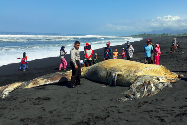 Anggota kepolisian dan warga berada di dekat ikan paus yang terdampar di Pantai Bambang, Lumajang, Jawa Timur, Kamis (11/7/2019). Seekor ikan paus yang belum diketahui jenisnya dengan panjang sekitar 11 meter ditemukan mati terdampar di pantai. - Antara/Polres Lumajang