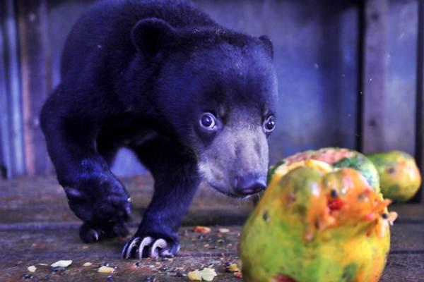 Seekor anak beruang madu Sumatra (Helarctos malayanus) berusia empat bulan hasil sitaan berada di kandang rehabilitasi satwa Balai Konservasi Sumber Daya Alam (BKSDA) Aceh di Aceh Besar, Aceh, Jumat (28/12/2018). - ANTARA/Irwansyah Putra