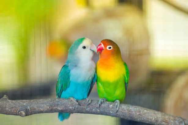 Burung Lovebird - istock