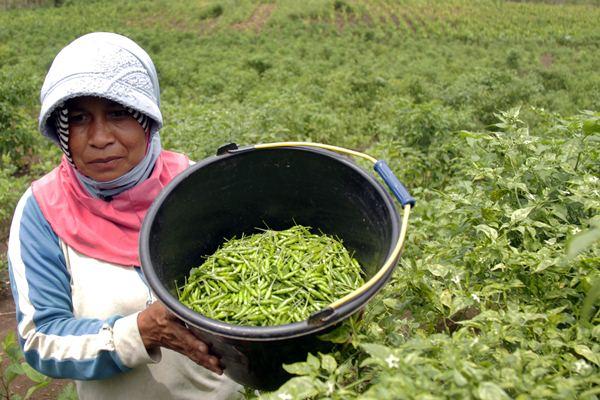 Petani memanen cabai rawit yang dikembangkan pada lahan terlantar bekas tanaman ganja di kawasan Gunung Lamteba, Desa Lambada, Seulimum, Kabupaten Aceh Besar, Aceh, Minggu (2/4/2017). - Antara/Ampelsa