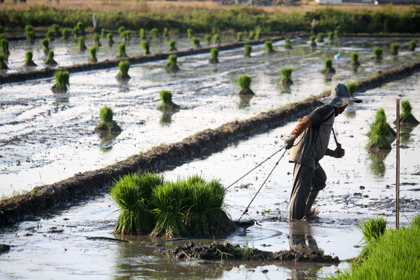 Petani menarik bibit padi untuk ditanam di areal persawahan kawasan Candi, Sidoarjo, Jawa Timur, Selasa (2/7/2019). Sebagian besar petani di kawasan tersebut lebih menyukai menanam padi secara tradisional disebabkan masih kesulitan mengoperasikan mesin untuk tanam padi. - Antara/Umarul Faruq