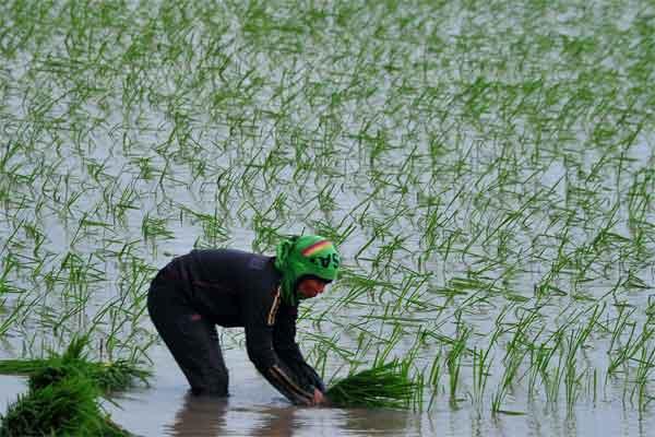 Petani menanam bibit padi pada musim tanam di Kabupaten Ogan Ilir (OI), Sumatra Selatan, Jumat (5/5). - Antara/Feny Selly