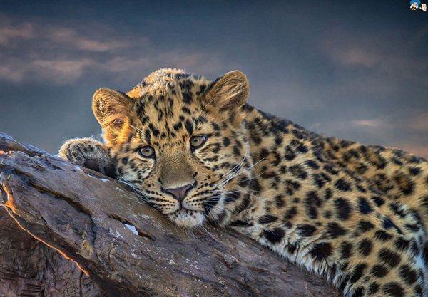 Macan tutul - www.santabanta.com