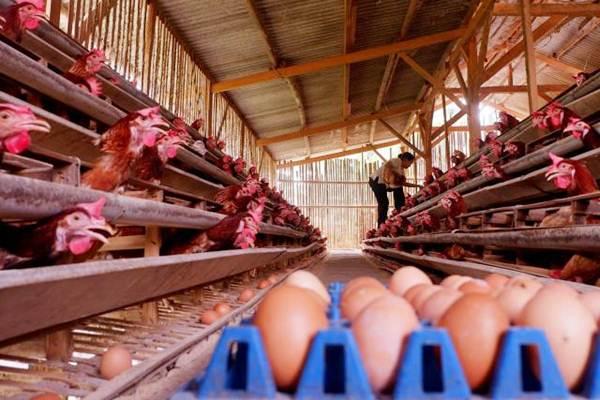 Peternak mengambil telur di kawasan Cibinong, Bogor, Jawa Barat, Sabtu (8/9/2018). - JIBI/Nurul Hidayat