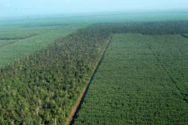 Ilustrasi hutan tanaman industri - Antara