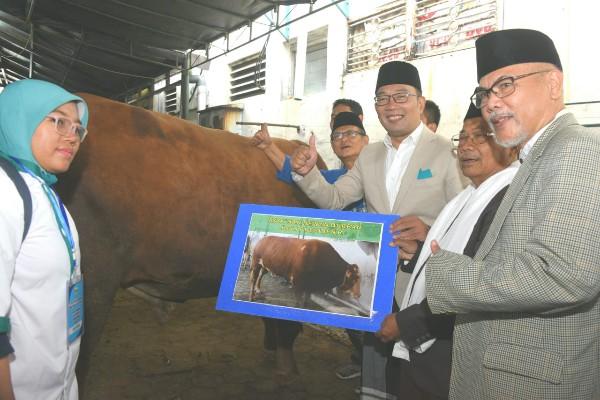 Ridwan Kamil Kurban Sapi Simental 600 Kg di Masjid Raya Bandung - Bisnis/Wisnu Wage