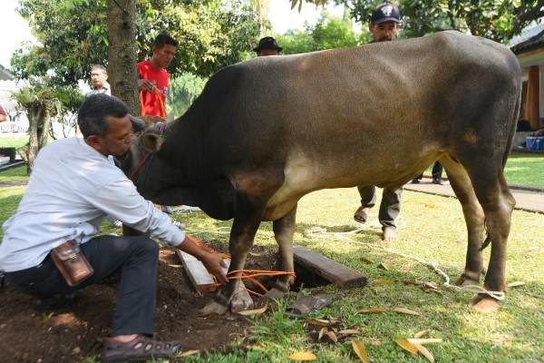 Kurban sapi di rumah dinas Ridwan Kamil - Bisnis/Wisnu Wage