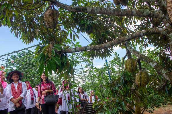 Ilustrasi: Ibu Negara Iriana Joko Widodo (kiri) bersama rombongan Organisasi Aksi Solidaritas Era (OASE) Kabinet Kerja meninjau kebun durian di Agrowisata Purwosari, Mijen, Semarang, Jawa Tengah, Jumat (4/1/2019). - ANTARA/Aji Styawan