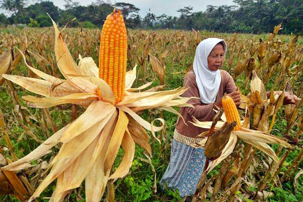 Petani memanen jagung untuk pakan ternak ayam di Dusun Guha, Kabupaten Ciamis, Jawa Barat, Selasa (18/7). - ANTARA/Adeng Bustomi