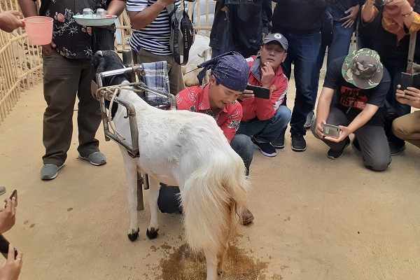 Kepala Bum-Des Ngargointen, Desa Ngargoretno, Kecamatan Salaman, Kabupaten Magelang, Jateng, Soim, menunjukkan cara memerah susu kambing etawa, Senin (19/8 - 2019). (Solopos.com/Ginanjar Saputra)