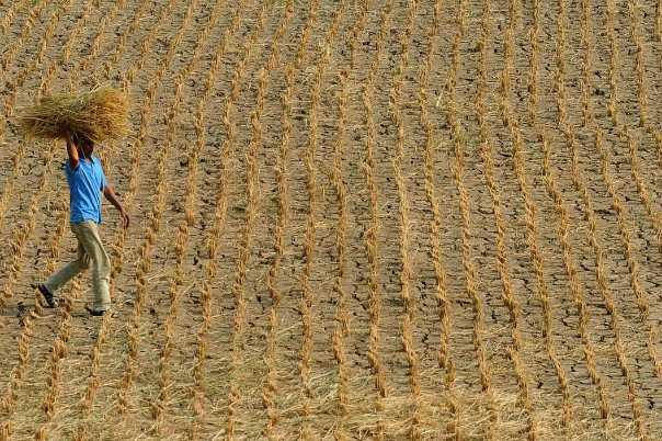 Ilustrasi kemarau di ladang pertanian - Bisnis Indonesia/Rachman