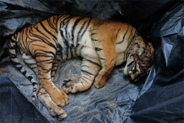 Kondisi bangkai Harimau Sumatera (Panthera tigris sumatrae) saat dibawa ke Kantor BBKSDA Sumatra Utara, di Medan, Jumat (26/5/2017). Harimau Sumatera jantan yang diperkirakan berumur dua tahun tersebut mati dibunuh. - Antara/Irsan Mulyadi