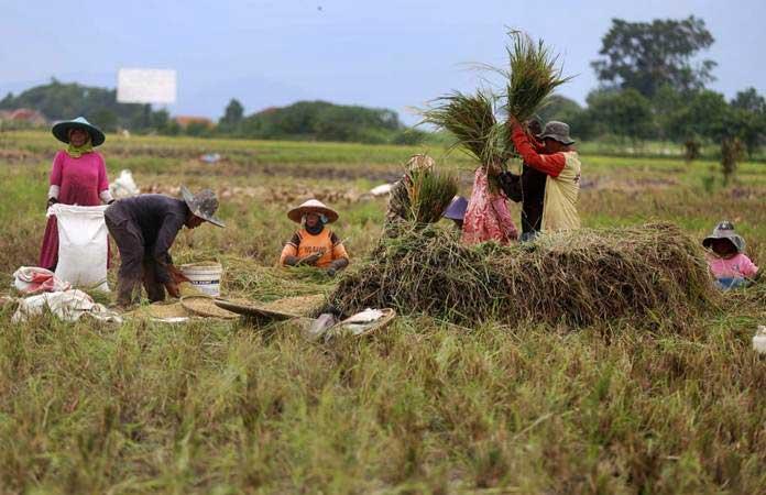 Ilustrasi - Petani memanen padi di areal persawahan kawasan Soreang, Kabupaten Bandung, Jawa Barat, Selasa (22/1/2019). - Bisnis/Rachman