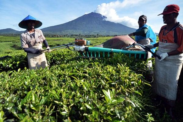 Pekerja memetik pucuk daun teh menggunakan mesin petik di lahan PT. Perkebunan Nusantara VI (PTPN VI), Kersik Tuo, Kayu Aro, Kerinci, Jambi, Rabu (20/5). - Antara/Wahdi Septiawan