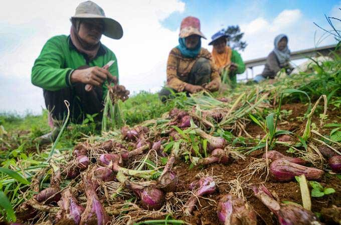 Petani memanen bawang merah di Kampung Tugu, Cimenyan, Kabupaten Bandung, Jawa Barat, Selasa (7/5/2019). - ANTARA/Raisan Al Farisi