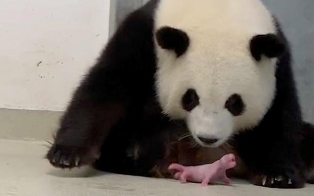 Meng Meng terlihat sedang mengawasi salah satu anak kembarnya/Sumber: Zoo Berlin Handout - EPA